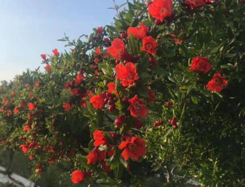 """""""Melograni in fiore"""": una domenica tra gli odori e i sapori della campagna salentina"""